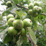 """Die heimischen Äpfel stehen am kommenden Sonntag beim Apfeltag in Rehringhausen im Mittelpunkt eines schmackhaften  Tages im Rahmen von """"Olpe biologisch""""..."""