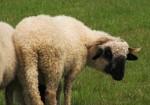 Wollwerkstatt - Vom Schaf zum Pullover