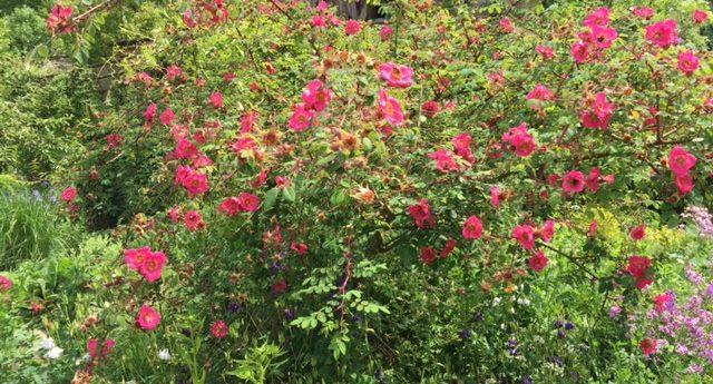 Rosen in der Küche: Mit Olpe biologisch in die Kräuterscheune