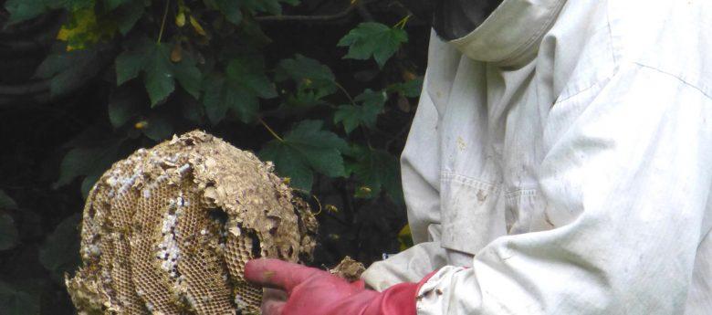 Ein Bienen- oder Wespennest – was nun? Vortrag über den Insektenschutz im Kreis Olpe